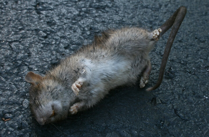 How to Dispose of a Dead Rat