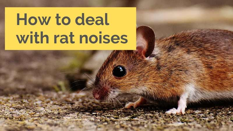 How to deal with rat noises
