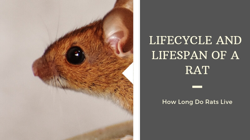 Lifecycle and Lifespan of a Rat