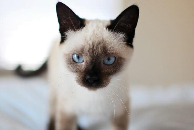 Siamese cat for get rid of mice