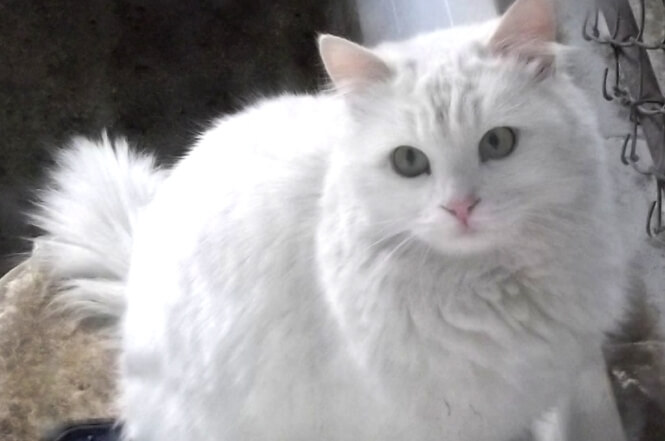 Turkish Angora cat for rodents