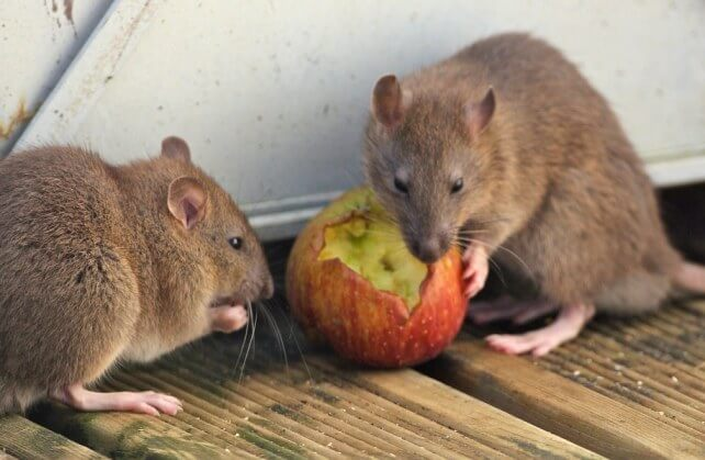 What Do Mice and Rodents Eat