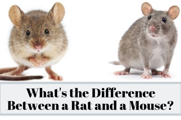 What's the Difference Between a Rat and a Mouse