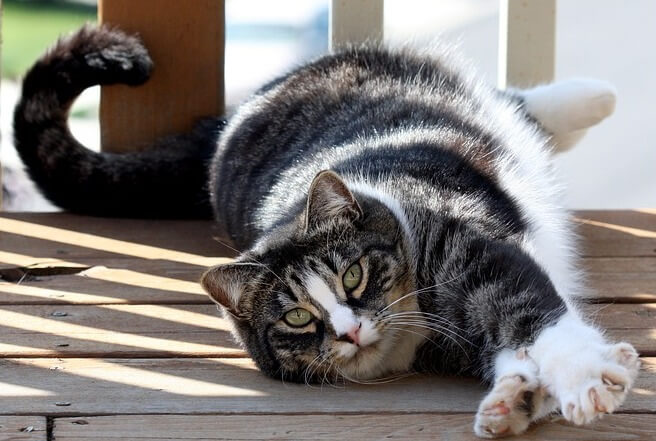 American Shorthair cat for mice control