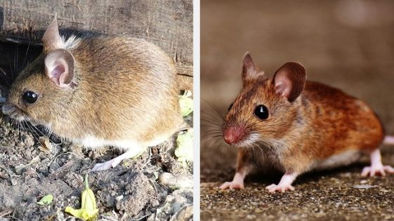 field mice and house mice difference