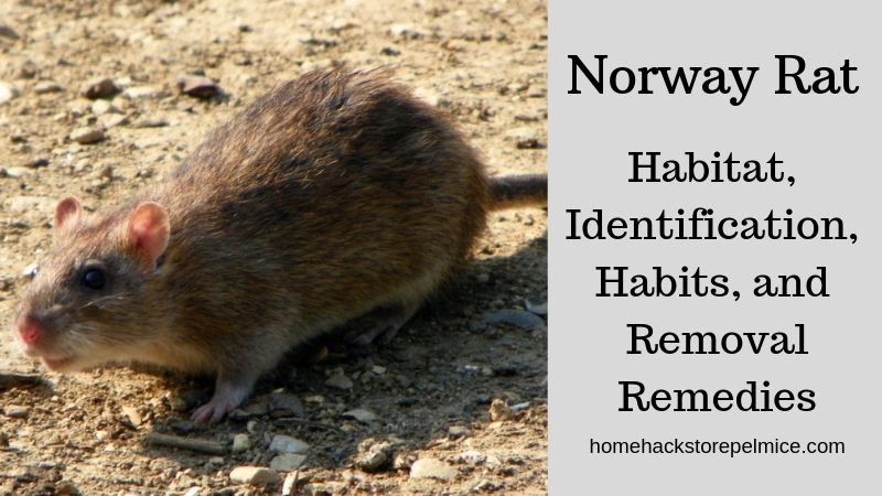 All about Norway rat - Control