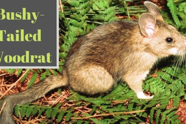Bushy-Tailed Woodrats – Habitat