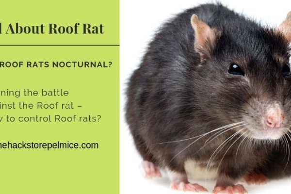 How to control Roof rats