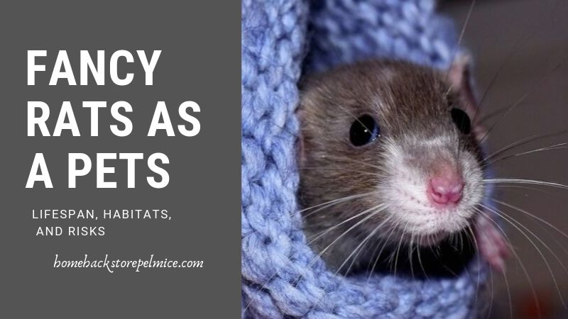 Fancy Rats as a Pets- Lifespan, Habitats, and Risks