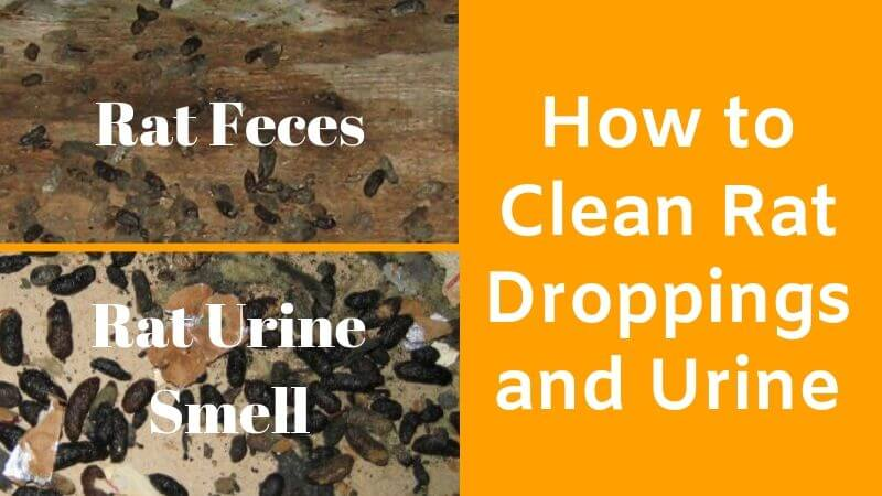 Rat Feces and rat urine smell