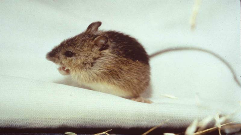 How To Get Rid Of Mice And Rats Effortlessly With Easy Diy