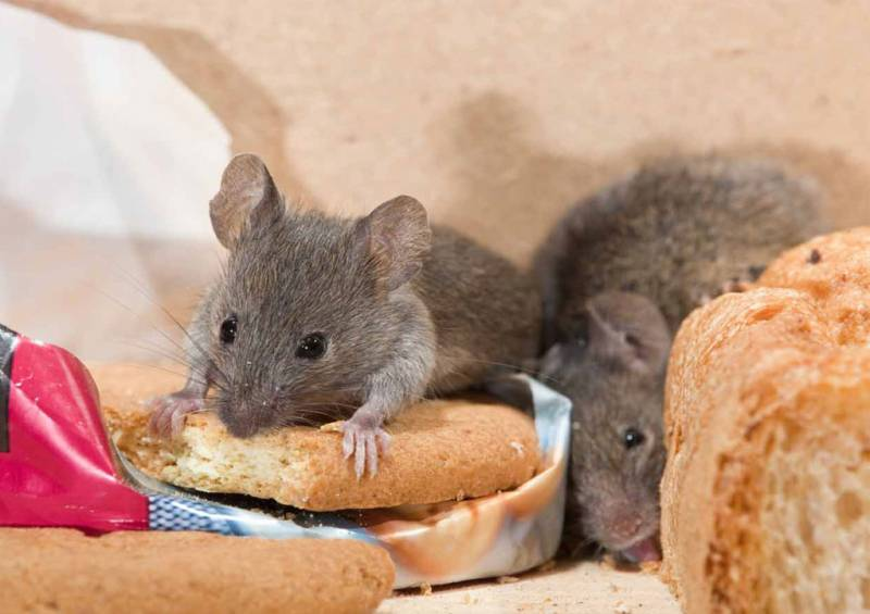Home Hacks To Repel Mice